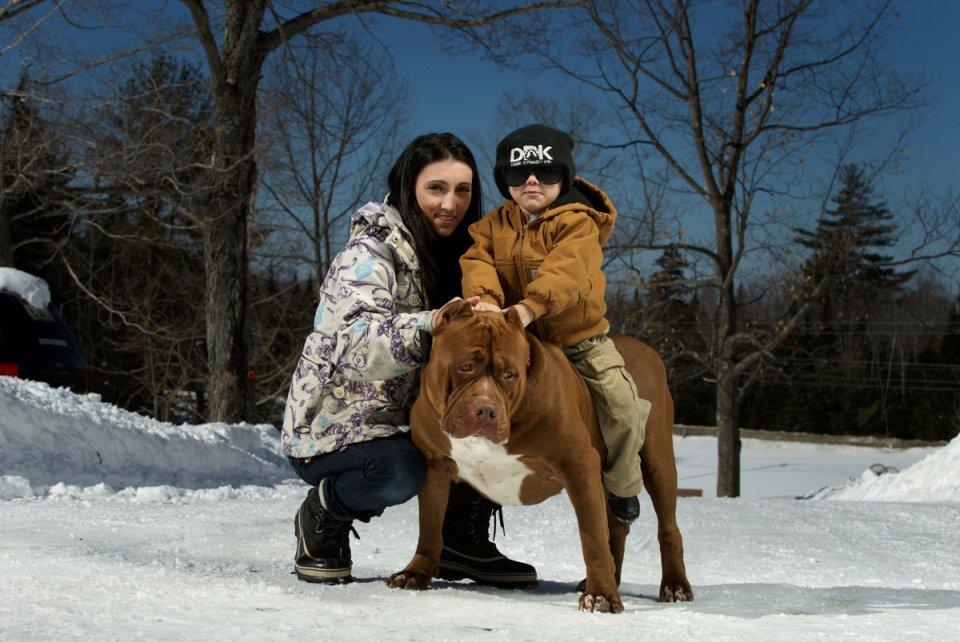 Американский питбультерьер: описание породы собак