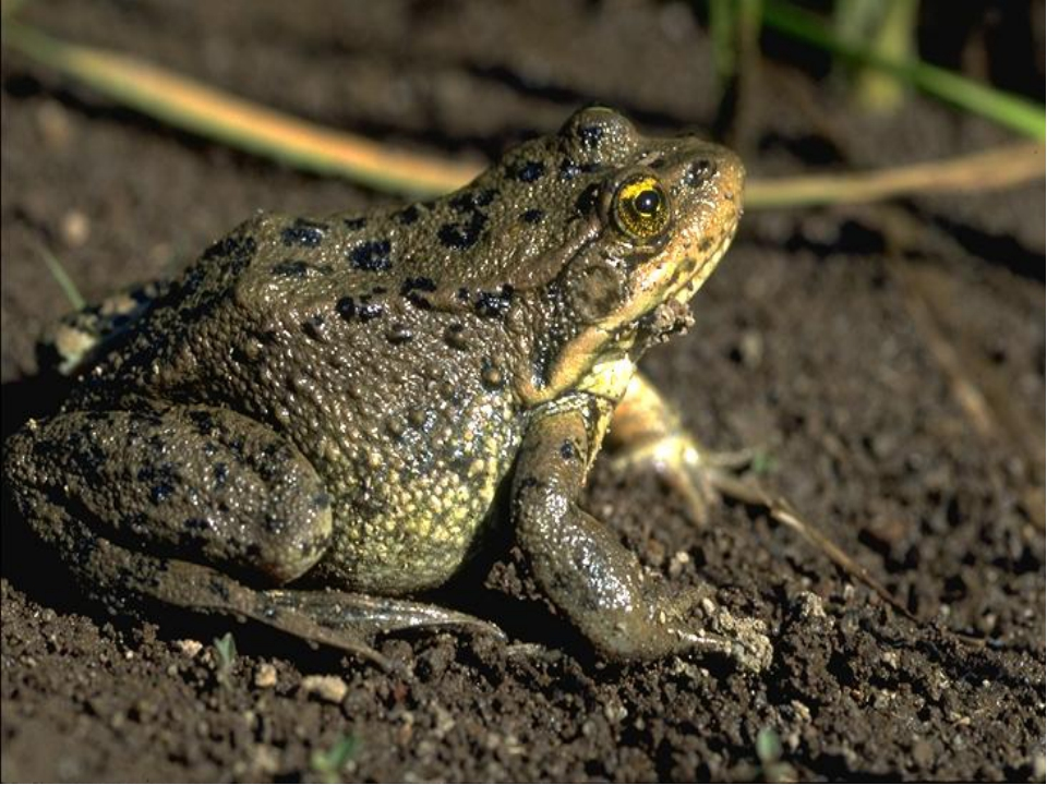 Жаба зеленая (bufo viridis): содержание, уход, чем кормить жабу зеленую, купить жабу, аквариум-террариум для зеленой жабы на сайте любимчики.ру