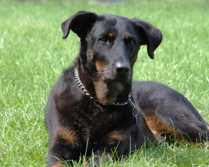 Босерон: история породы, характер, уход - новости о собаках