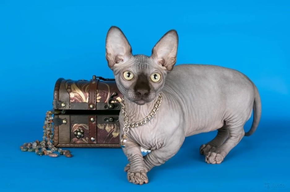 Кошка бамбино: описание, характер, цены, повадки и история породы