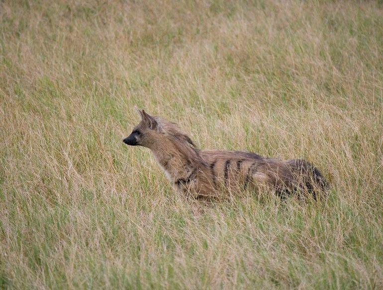 Земляной волк,proteles cristatus sparrman, 1783 = земляной волк, земляной волк