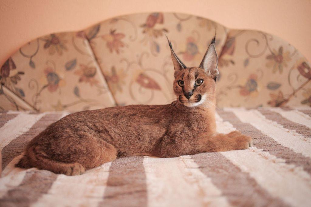 Породы кошек похожие на рысь
