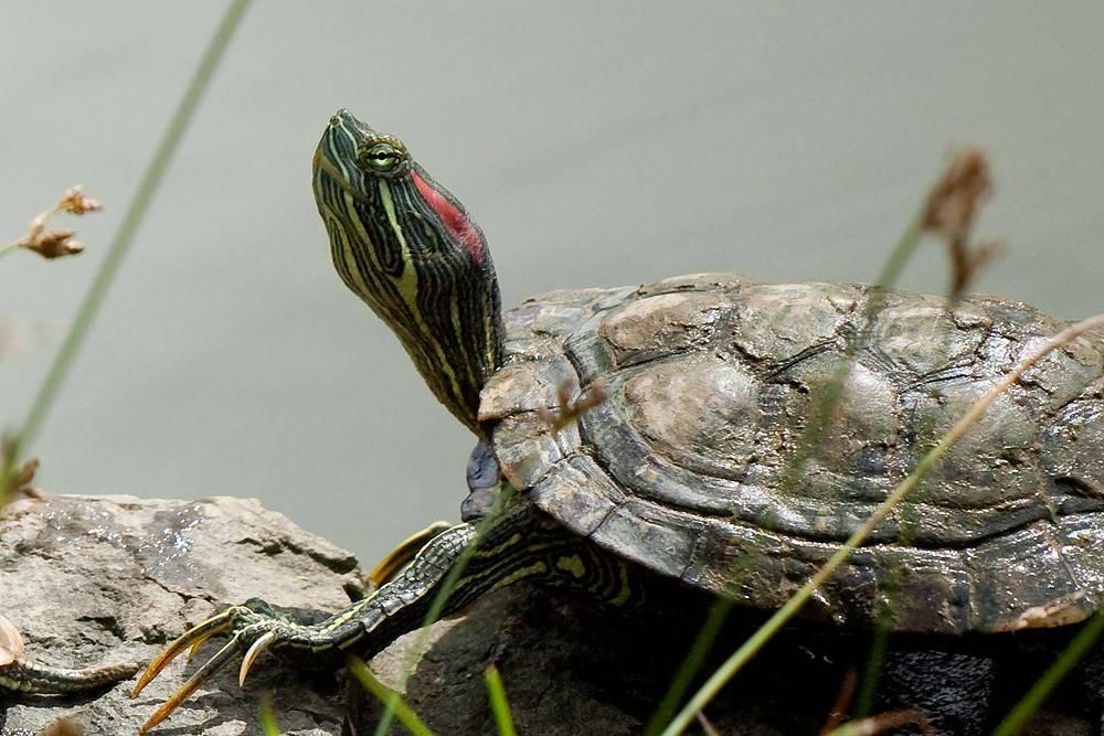 Основные рекомендации по уходу и кормлению красноухих черепах