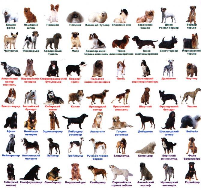 Породистый пес или двортерьер — как определить породусобаки