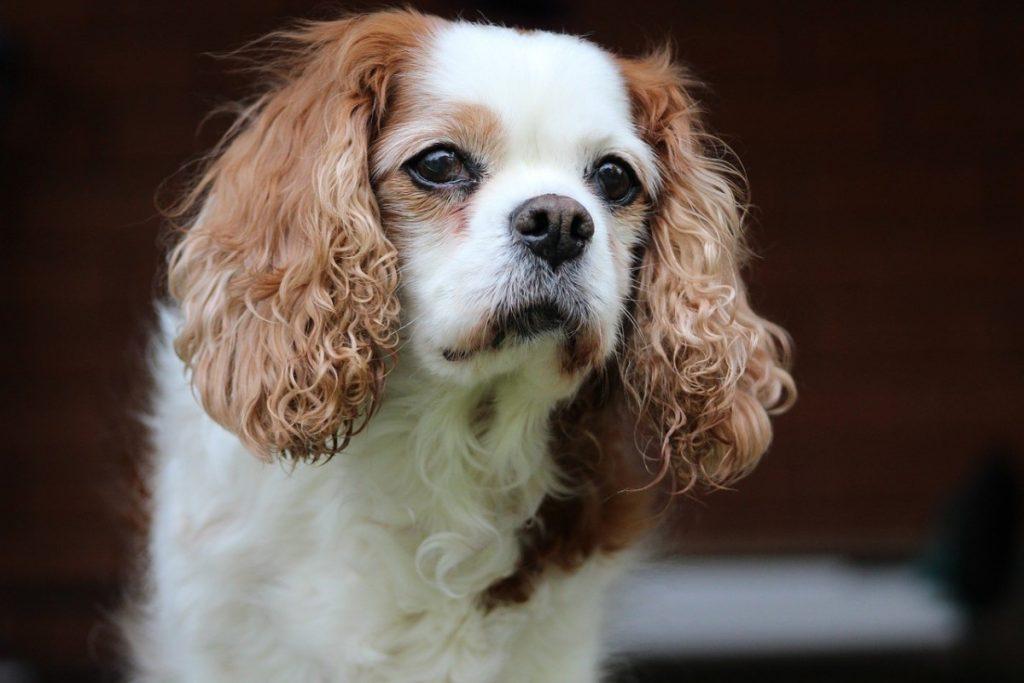 Кавалер-кинг-чарльз-спаниель: все, что нужно знать о породе собак