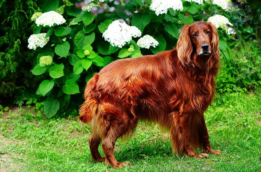 Описание породы собак английский сеттер: характер, уход, предназначение