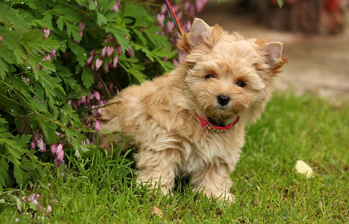 Голдаст йоркширский терьер: как выглядит и какие особенности характера имеет собака