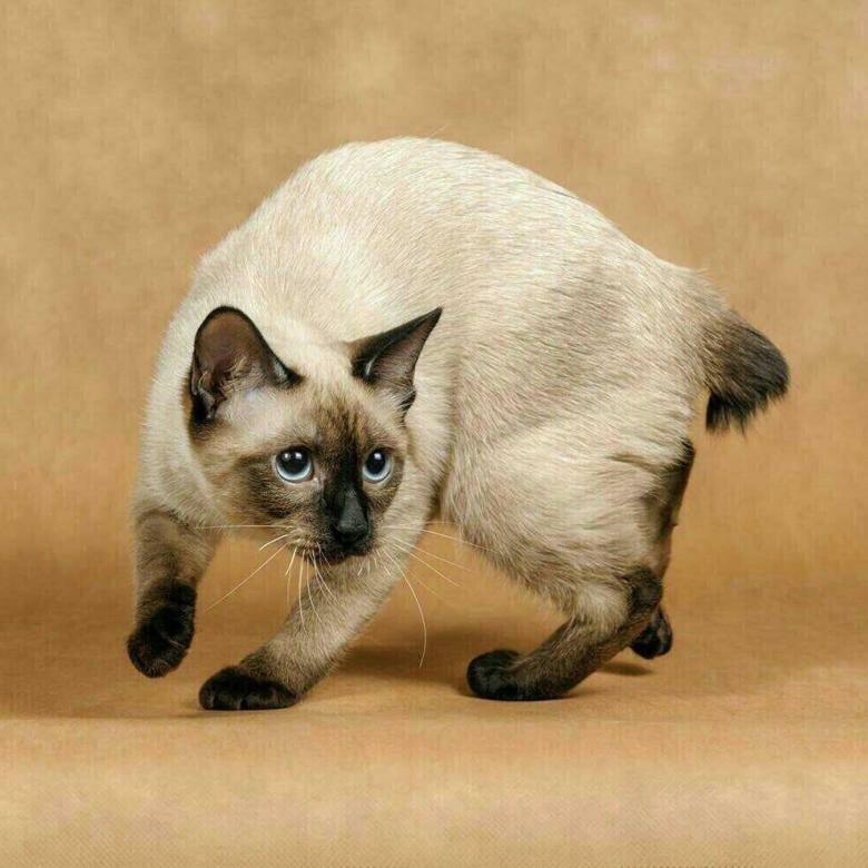 Тайская кошка: описание породы, история, фото и видео | zoodom