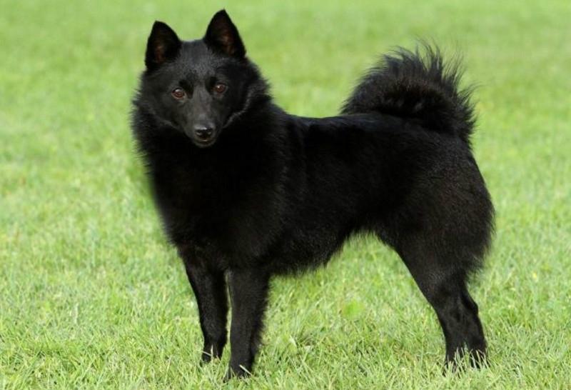 Шипперке (60 фото): описание бельгийской породы собак схипперке, стандарты щенков самой маленькой овчарки, характер и дрессировка, правдивые отзывы владельцев