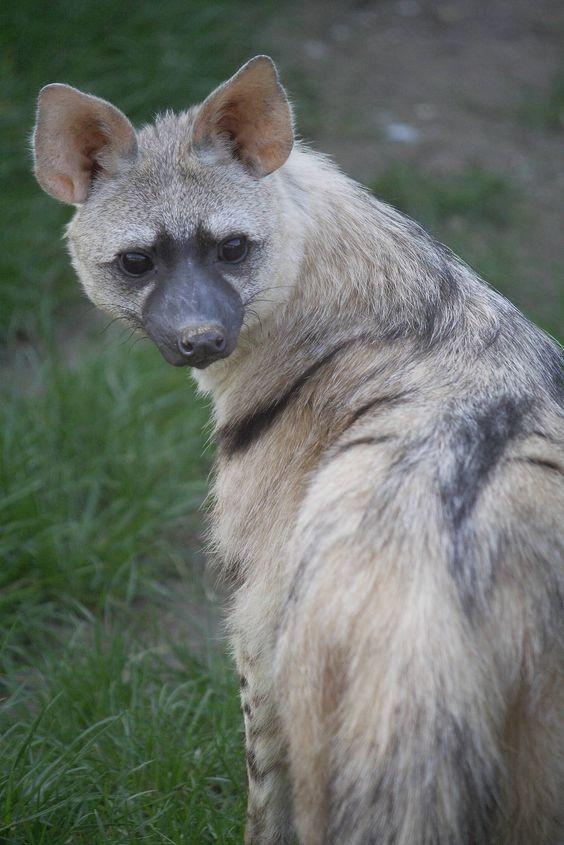 Краткое описание земляного волка и образ его жизни   все о животных