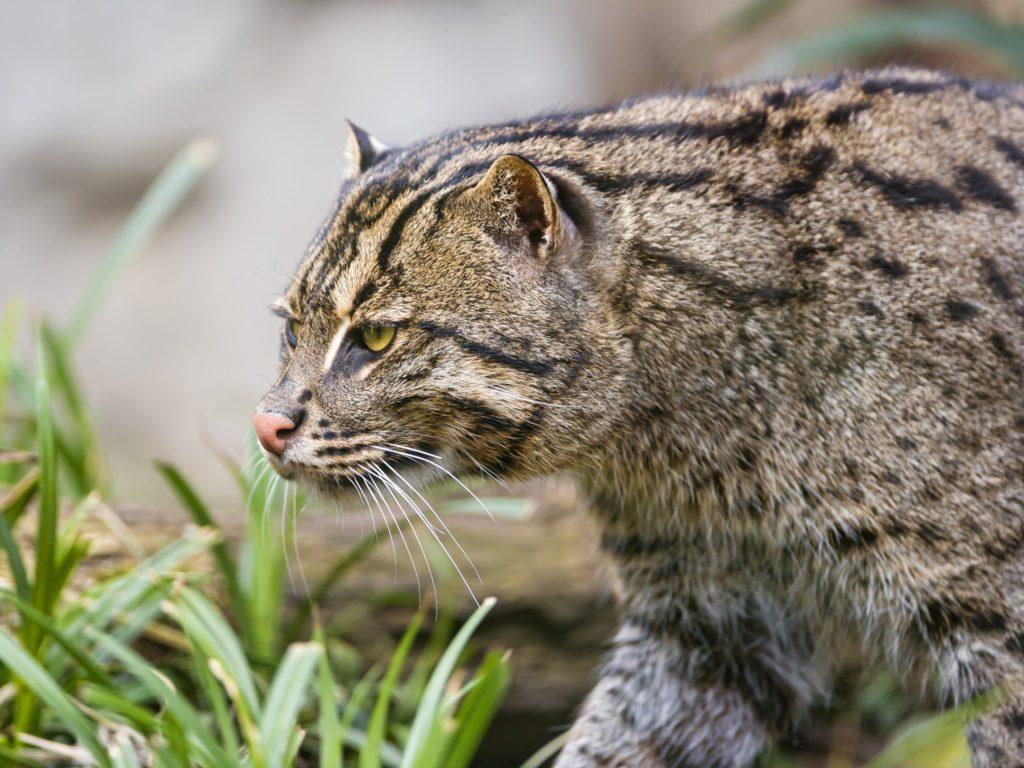 Виверровый кот-рыболов: описание вида, фото и цена
