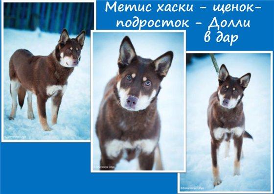 Помски (48 фото): описание породы собак, помесь шпица и хаски, характер взрослого животного