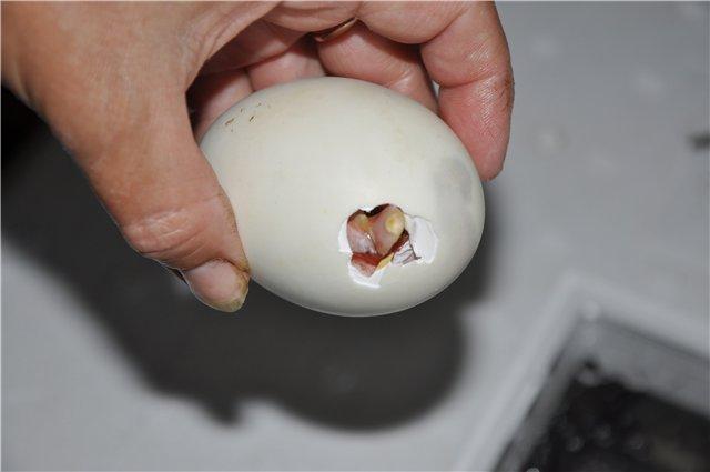 Яйца красноухой черепахи, как определить беременность и что делать если черепаха снесла яйцо