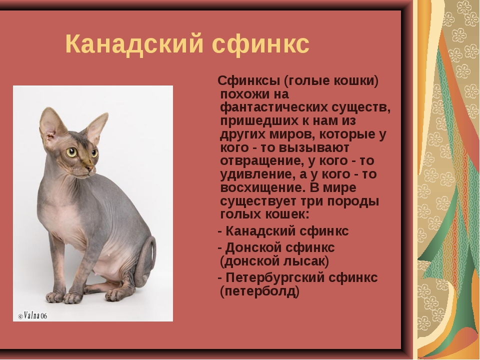 Донской сфинкс: фото, описание породы, характер, здоровье, уход и содержание