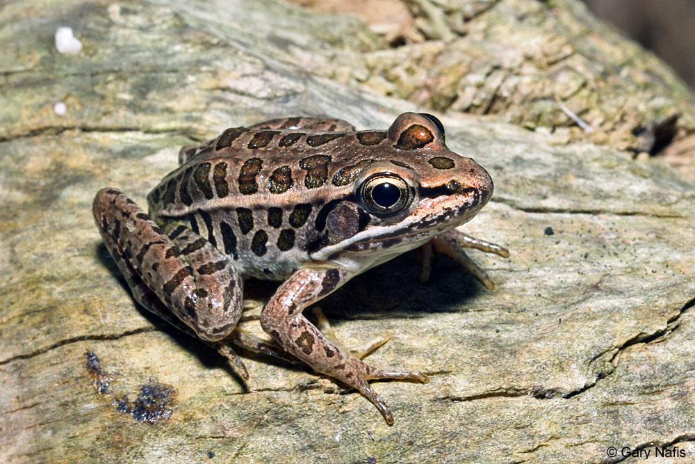 Остромордая лягушка, также известная как болотная, описание и уход