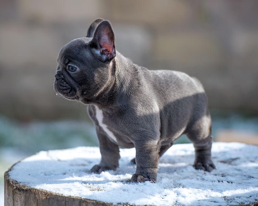 Белый французский бульдог (17 фото): характер щенков, описание, воспитание и уход