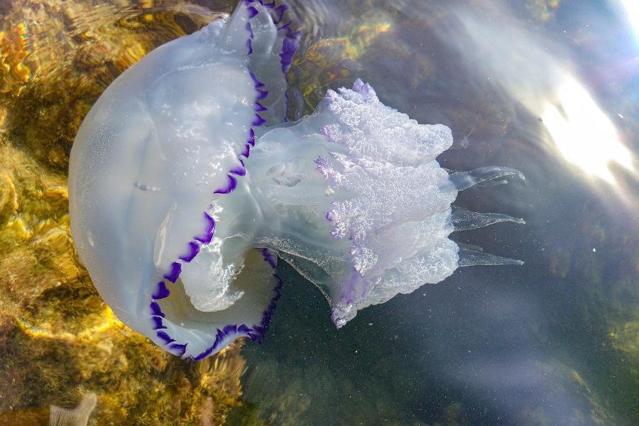 Медузы черного моря в крыму — опасны или нет: какие жалят, почему приплывают к берегу и когда? можно ли есть медуз из черного моря: виды съедобных медуз, блюда