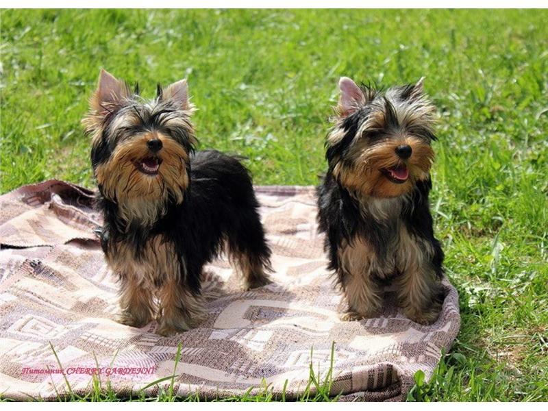 Йоркширский терьер мини (32 фото): сколько лет живут карликовые щенки йорки? содержание супер-мини или микро собак, уход и кормление взрослого животного, описание породы
