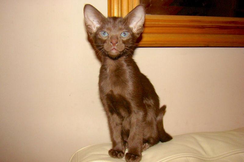 Гавана браун: особенности породы, характер кошек, история происхождения