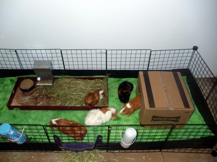 Клетка для морской свинки своими руками с фото: размеры и обустройство