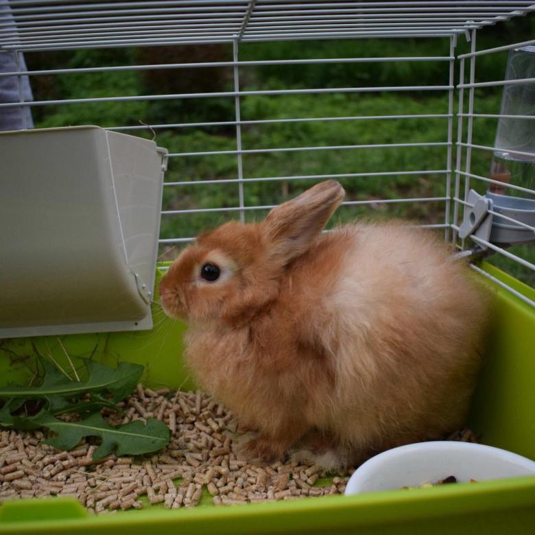 Сколько стоит живой домашний кролик?