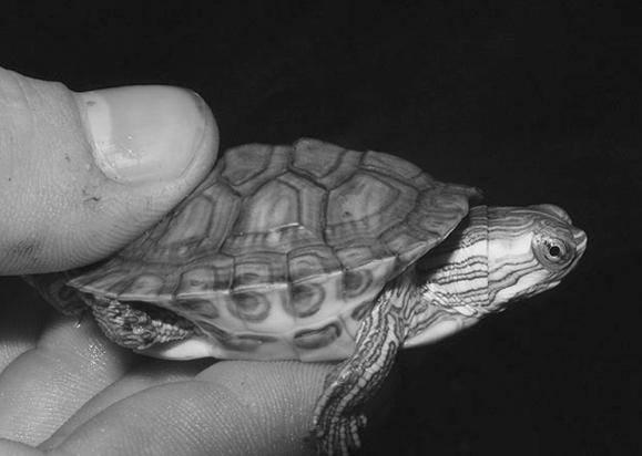 Почечная недостаточность у черепахи: вялая и перестала есть - научная статья центра ответ