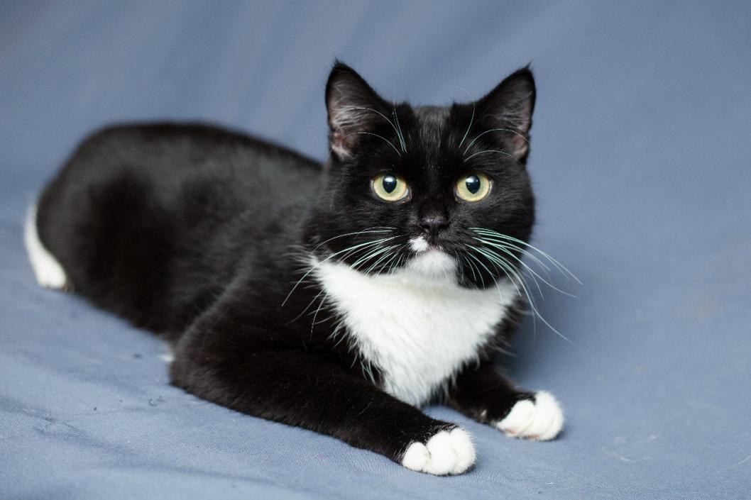 Черная кошка с белым пятнышком порода