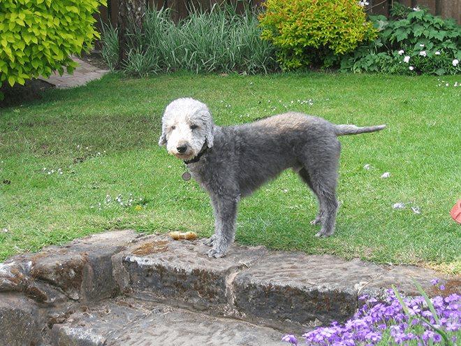 Бедлингтон-терьер (37 фото): описание породы. характер щенков. виды стрижек собак. чем их кормить?
