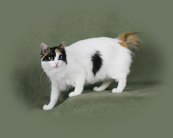 Меконгский бобтейл: все о кошке, фото, описание породы, характер, цена