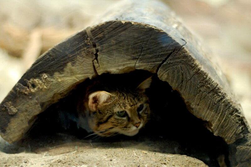 Ржавая кошка — самая маленькая дикая кошка в мире
