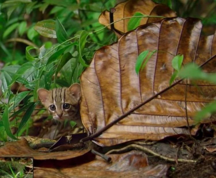 Ржавая кошка: как называют самую маленькую дикую кошку в мире