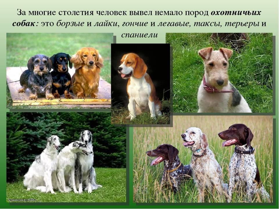 ᐉ сколько пород собак существует в мире? - zoomanji.ru