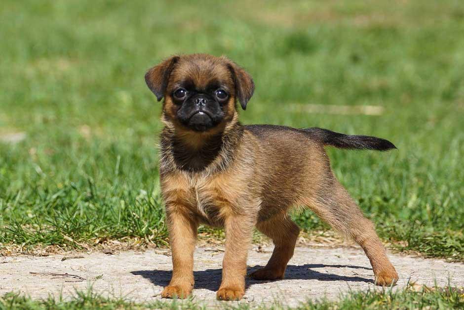 Собаки породы пти-брабансон: описание, характер, особенности содержания брабантского гриффона, чем его кормить и каким болезням подвержена порода