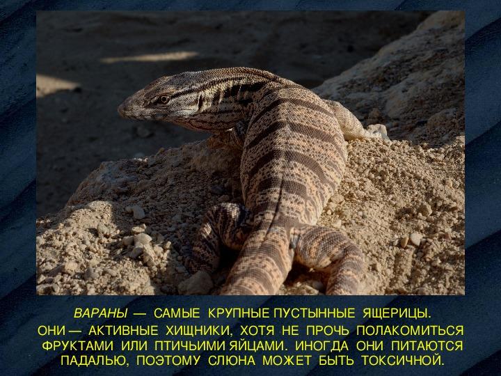 Комодский варан животное. описание, особенности, образ жизни и среда обитания варана   живность.ру