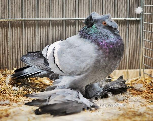 Топ 10 необычных пород голубей