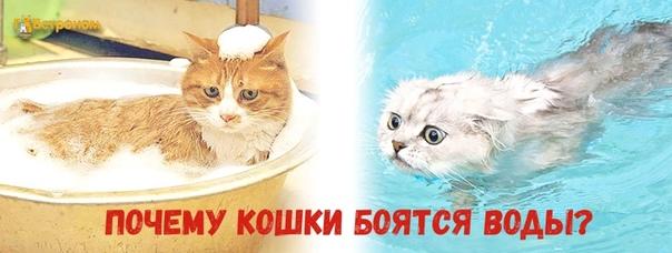 Почему коты боятся воды: причины, как купать котенка, взрослую кошку