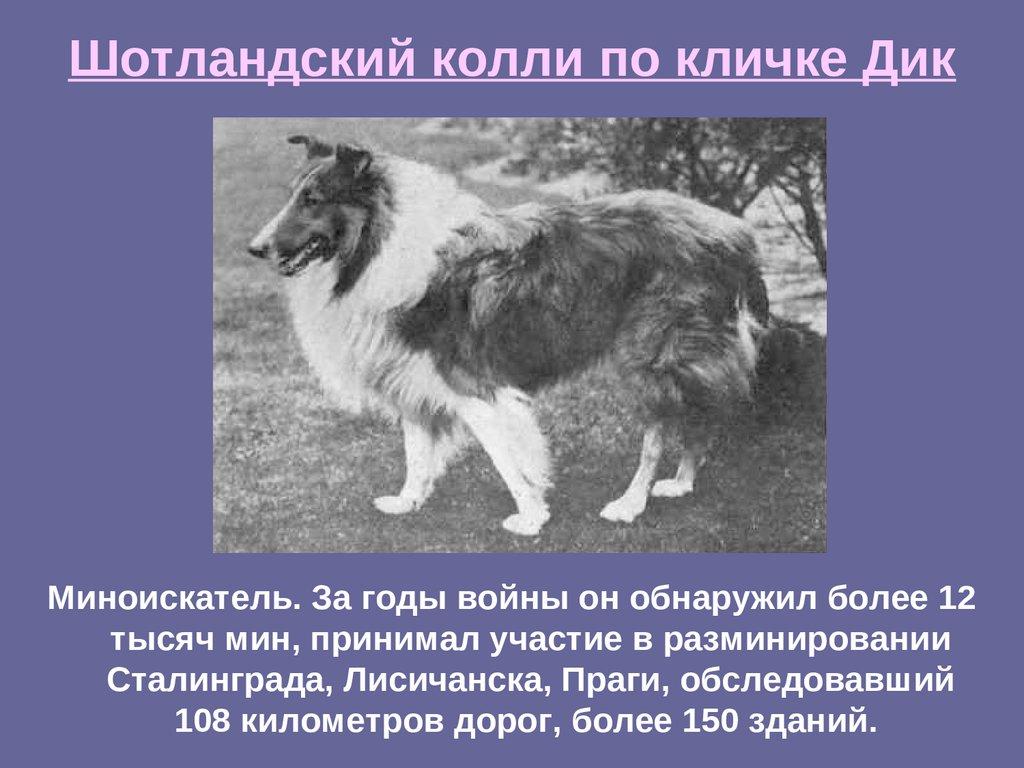 Порода собак колли – описание c фото, характеристика, цена, отзывы