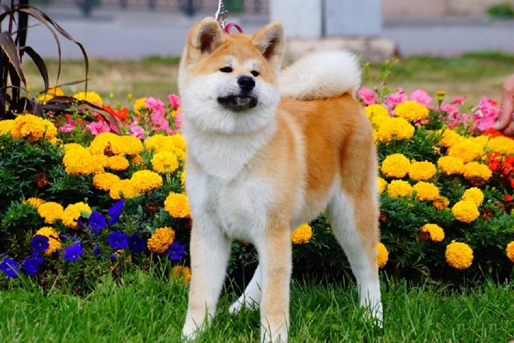 Акита-ину фото, описание породы характер, цена щенка, отзывы владельцев