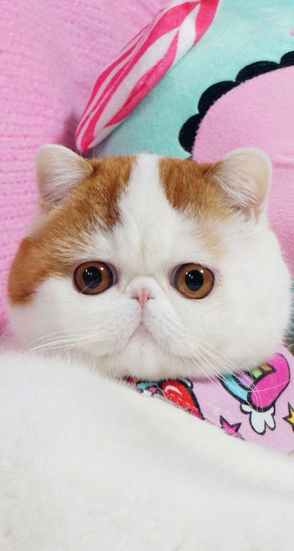 Порода кошек японский бобтейл — описание и характеристика, характер животных, уход, разведение