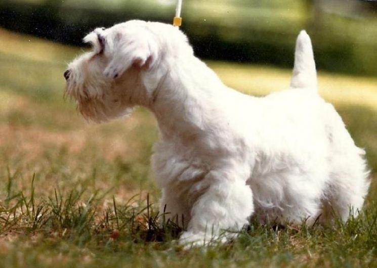 Силихем терьер – все о терьерах, порода собак, стандарт и классификация все о терьерах, порода собак, стандарт и классификация