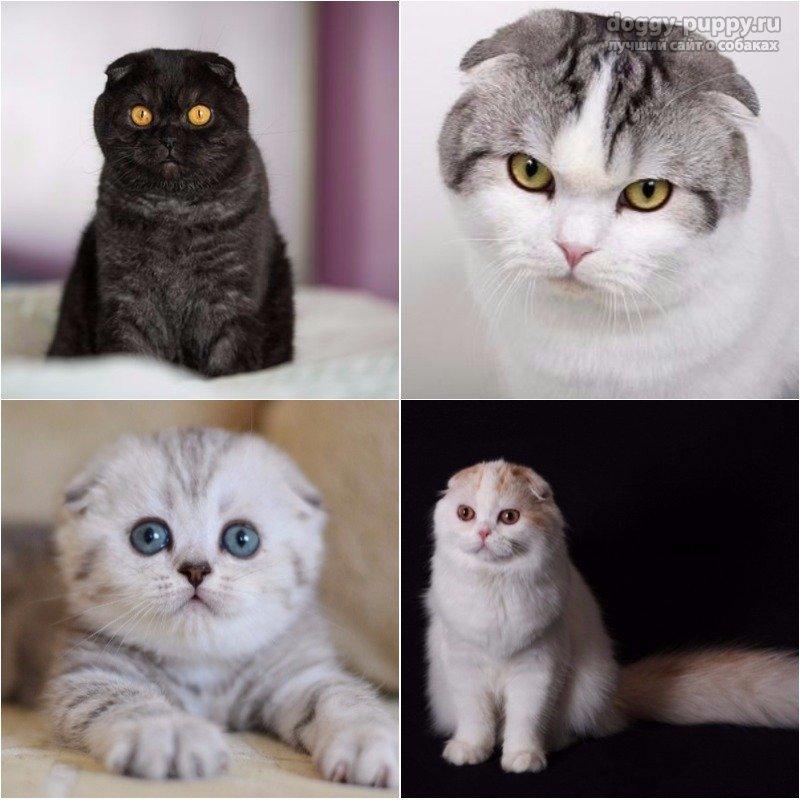 Британская короткошёрстная кошка - фото, окрасы, описание породы и характера