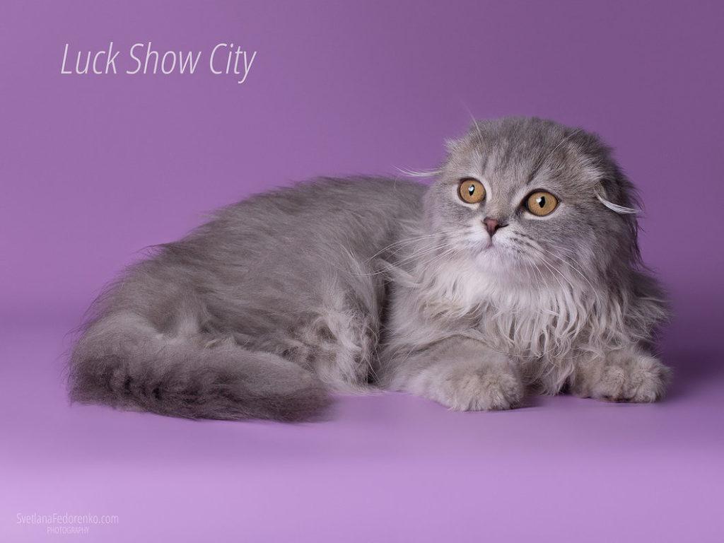 Хайленд-фолд: шотландская вислоухая длинношерстная кошка