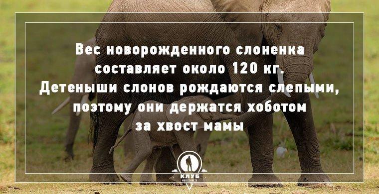 Самые интересные и необычные факты о слонах