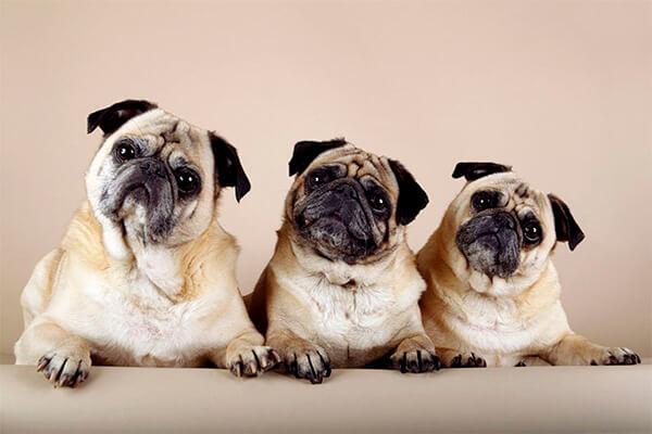 Разновидности мопсов: официальные породы собак, похожих на них