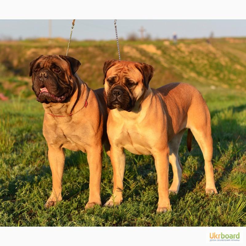 Бульмастиф: характеристики породы, фото собаки и правильный уход