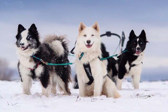 Все о ездовых собаках
