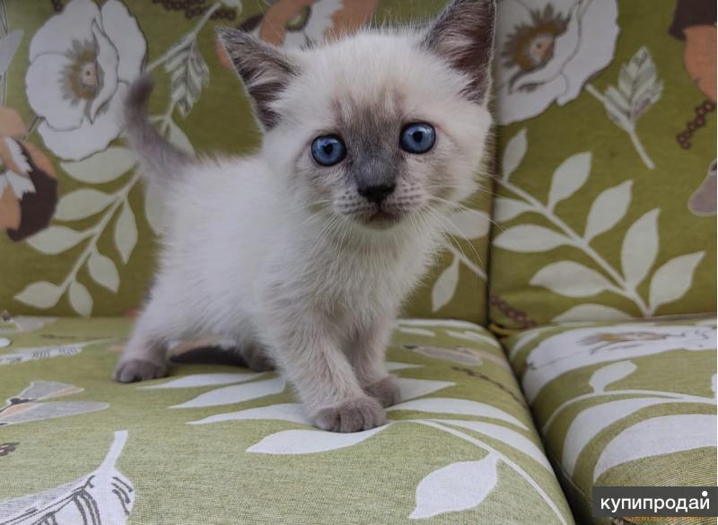 Кошка коричневая с черными пятнами порода