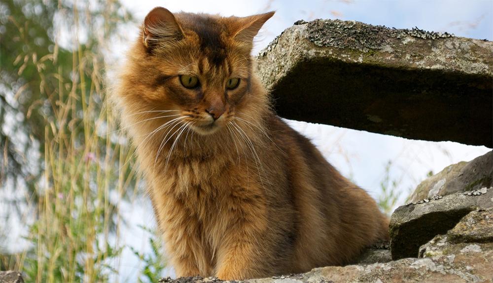 Гималайская кошка (фото): описание, плюсы и минусы породы, окрасы, характер, уход, цена котенка