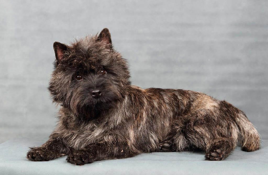 Керн-терьер : описание породы собак с фото и видео