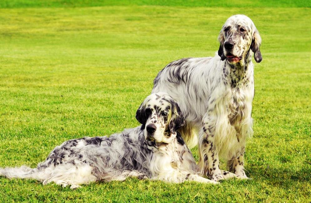 Шотландский сеттер: все о собаке, фото, описание породы, характер, цена